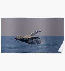 Humpback whale off Tweed Heads, 2009 Poster