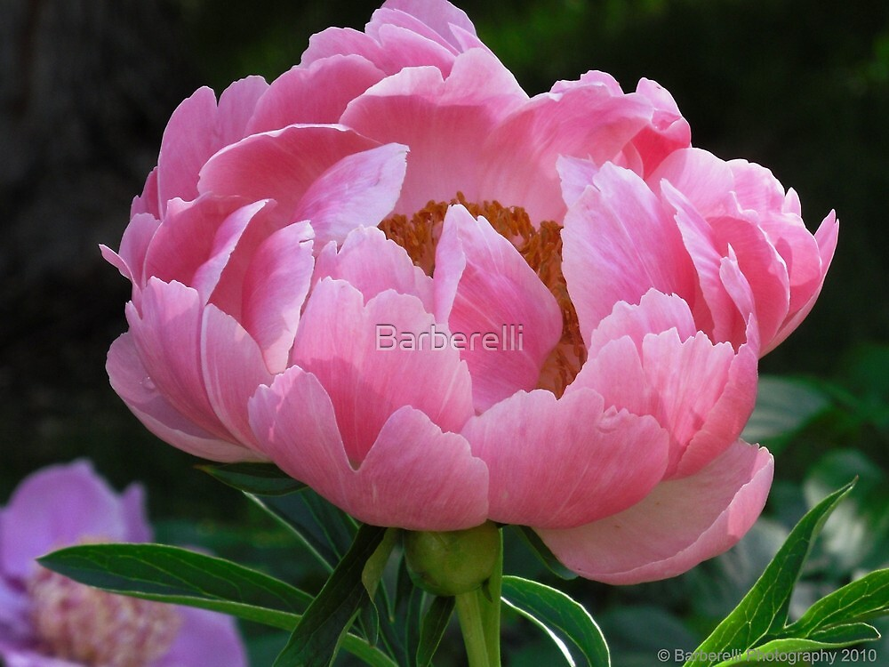 Peony - Coral Supreme  by Barberelli