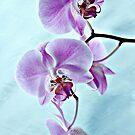 Dancing Phaleonopsis by Gerda Grice