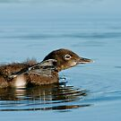 Loon Chick 8 by Loon-Images