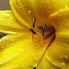 Yellow Lilly by redflower