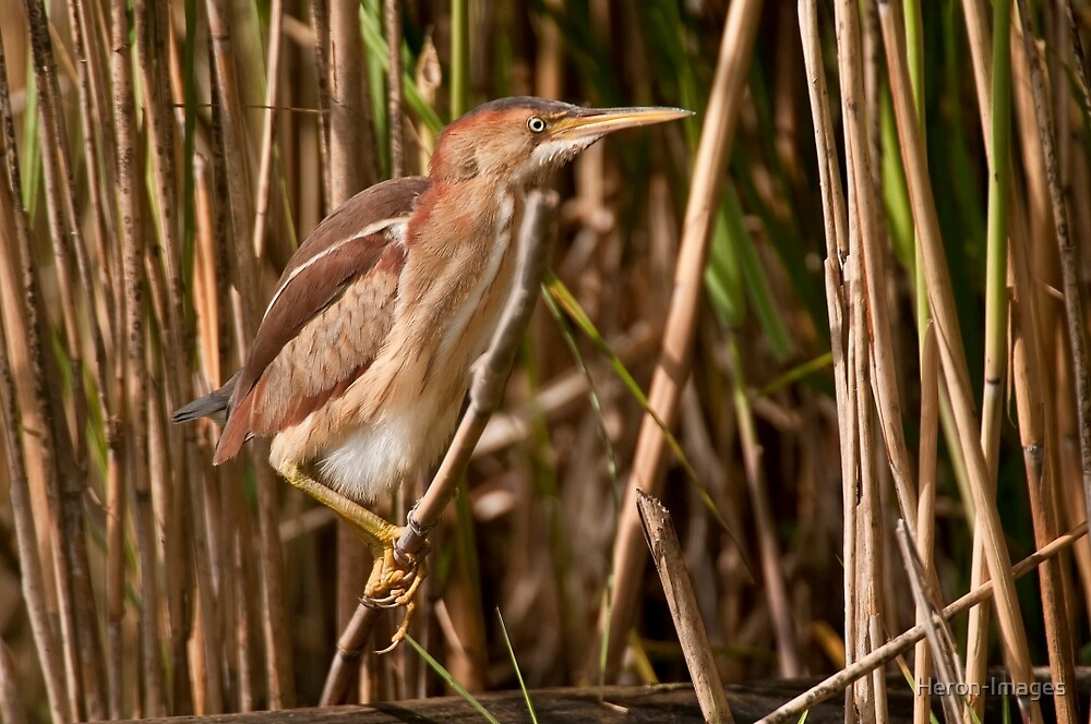 Least Bittern by Heron-Images