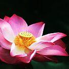 Gorgeous Lotus by Steven  Siow