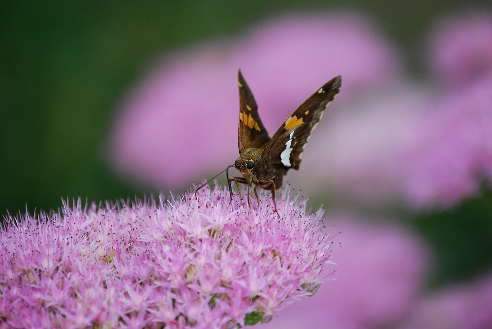 Butterfly on Autumn Sedum by Suz Garten