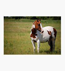 Paint Horse in Repose Photographic Print