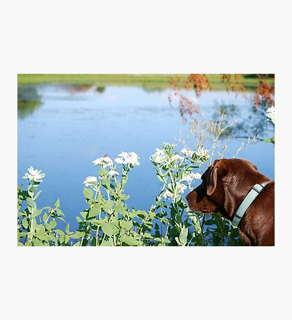 Chocolate Lab Smells the Flowers Photographic Print