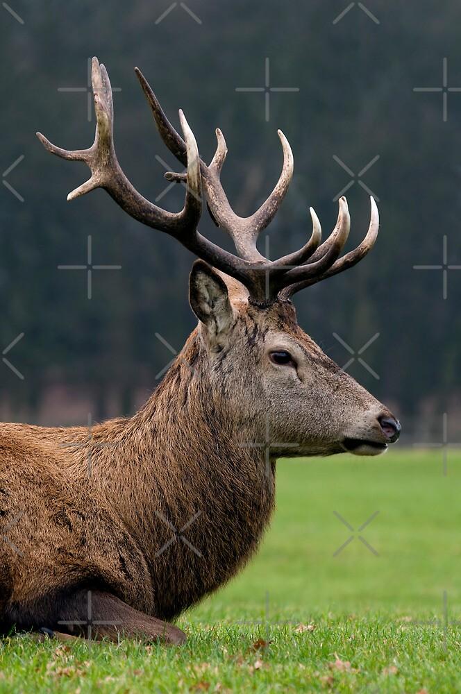 Profile Of A Red Deer Stag - (Cervus elaphus) by Robert Taylor