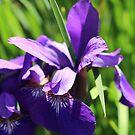 Purple Iris by Yulianna-ca