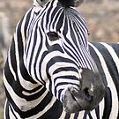 Adult  Plains Zebra by loz788