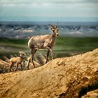 Big Horn und Kid - Badlands National Park von Kathy Weaver