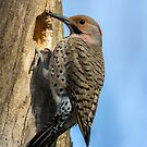 Northern Flicker by EthanQuin