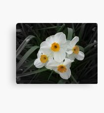 Daffodils Selectively Canvas Print