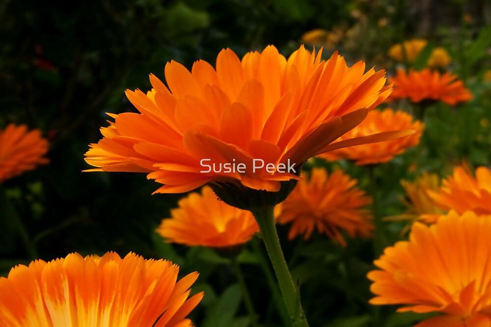 Golden Beauties by Susie Peek