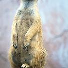Meercat Watch by Colleen Rohrbaugh