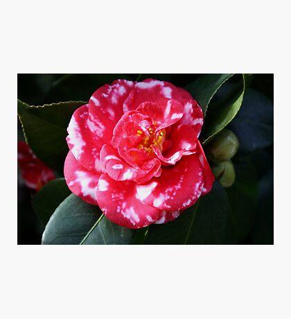 camellia japonica Photographic Print