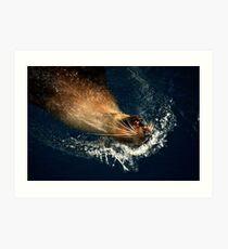 Australian Fur Seal Art Print