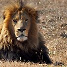 Male Lion by loz788