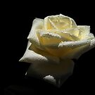 Rose  White Color. by Vitta