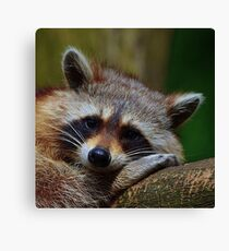 Raccoon Face Canvas Print