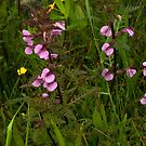 Marsh Lousewort - a purple beauty by steppeland