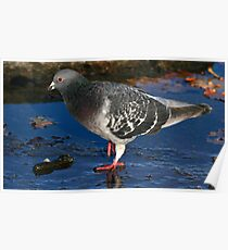 The Rock Dove Poster