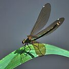 Female  Demoiselle Agrion by relayer51