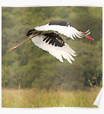 Saddle Bill Stork Poster