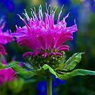 Bee Balm by kittyrodehorst
