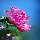 Rose by Kathy Nairn