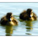 Mallard Chicks by Michael  Dreese