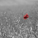 Faded Memories : A Study of Poppies by John Nelson