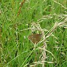 meadow butterfly by brucemlong