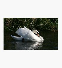 Swan on the river Avon Photographic Print