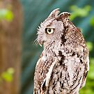 Screech  Owl by Tracy Riddell