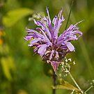 Wild Bergamot by Mike Oxley
