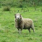Devon Sheep 2 by lezvee
