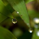 Morning Dew by Stacy Griebel
