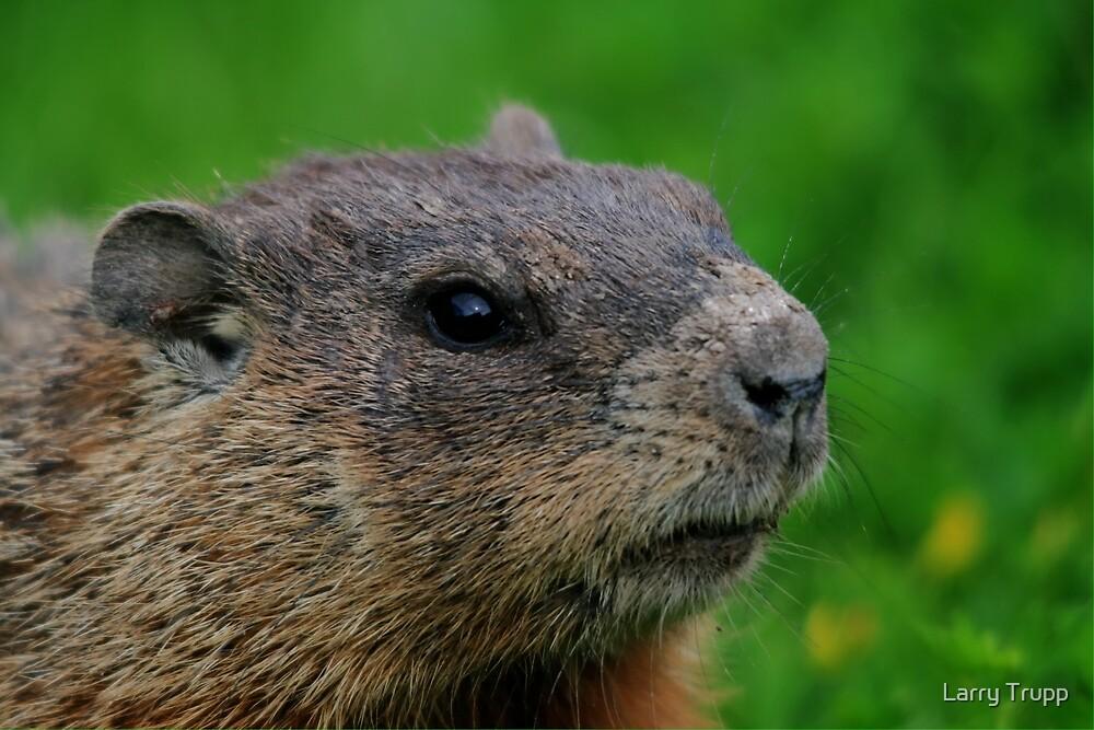 Woodchuck Profile by Larry Trupp