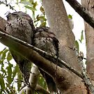 Frogmouths: Thinking of Springtime.  by Virginia McGowan