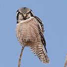 Northern Hawk Owl by Larry Trupp