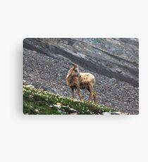 Herd member Canvas Print