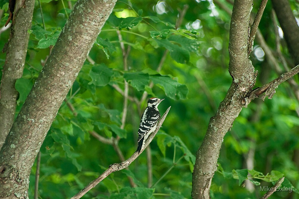 Yellow-bellied Sapsucker by Mike Oxley