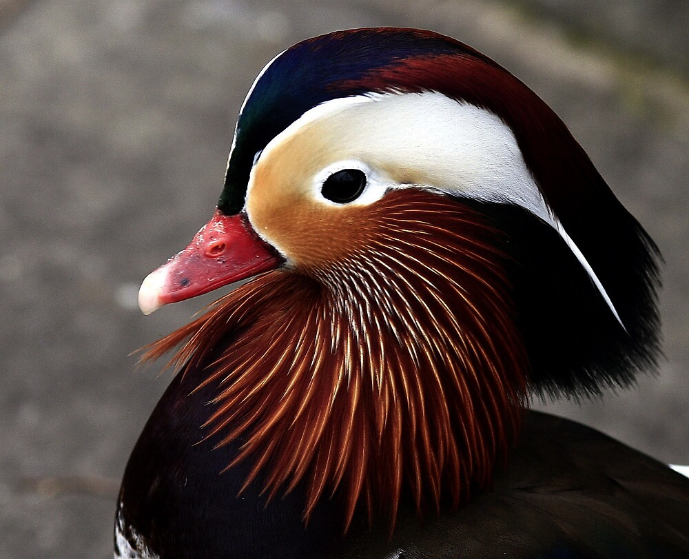 A Mandarin Portrait  by snapdecisions