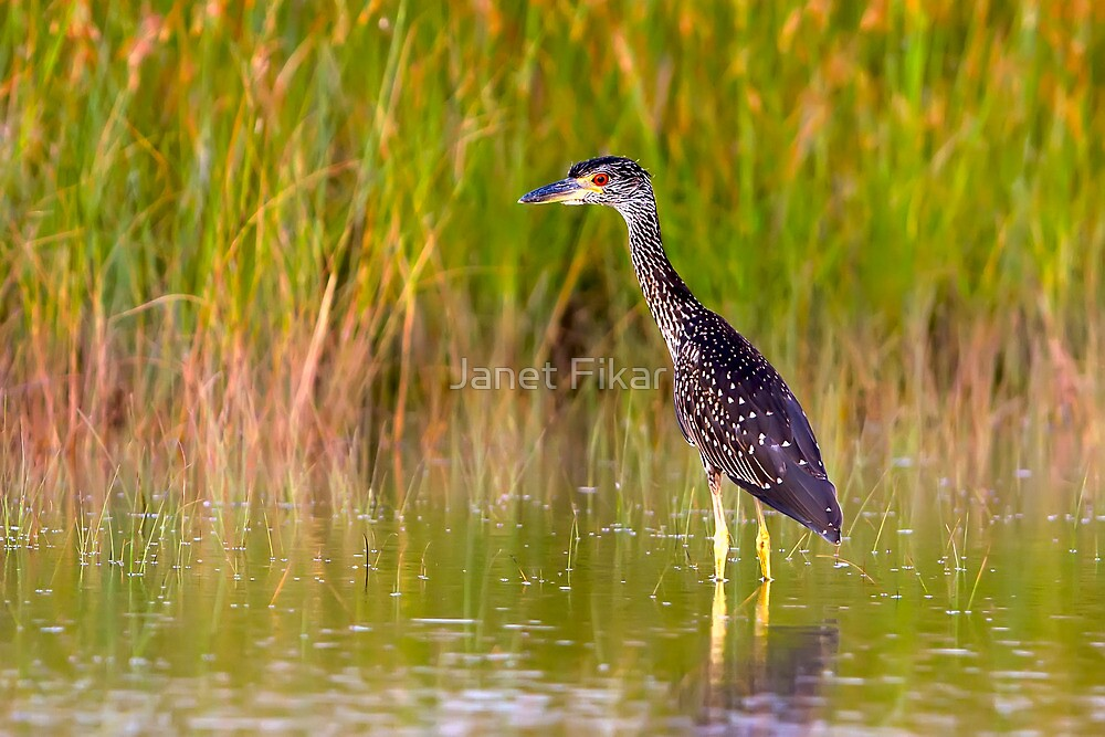 Quot Yellow Crowned Night Heron Juvenile Quot By Janet Fikar