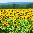 Buttonwoods Sunflower Field in Full Bloom by Debbie Robbins