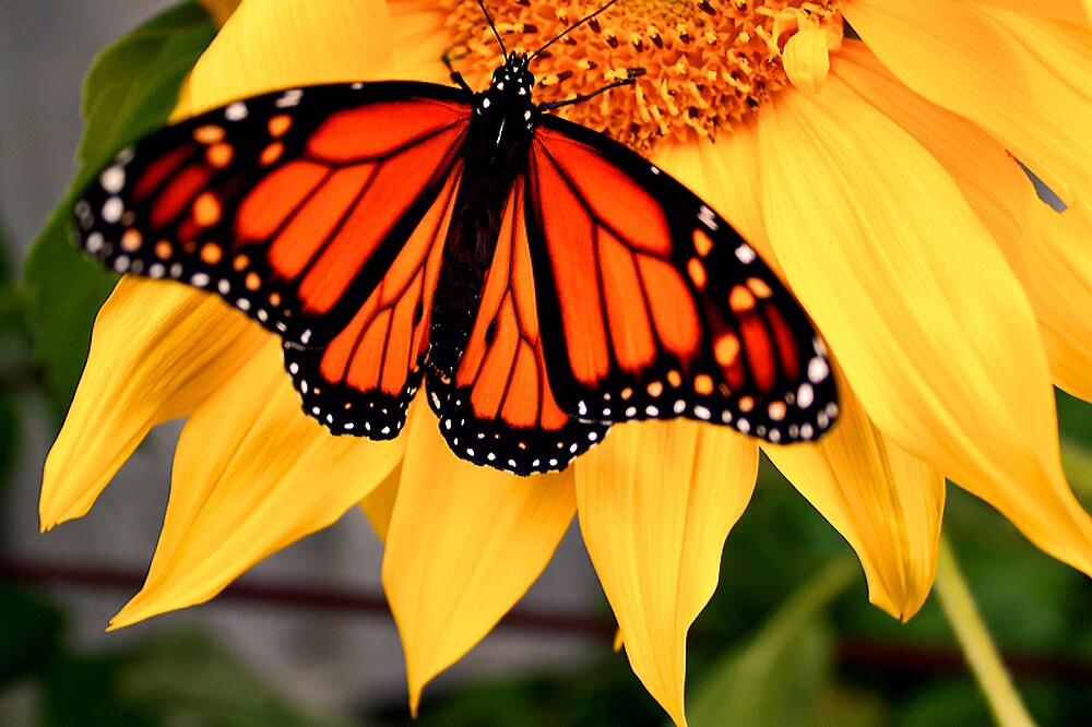 """""""Male Monarch and Sunflower"""" by Nicolette Gregory"""