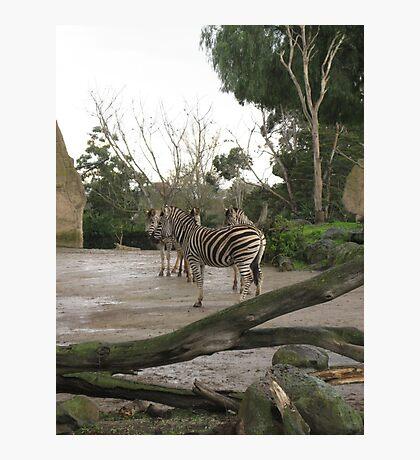 Inner Zebra Photographic Print