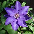 purple star with stripe by DarylE