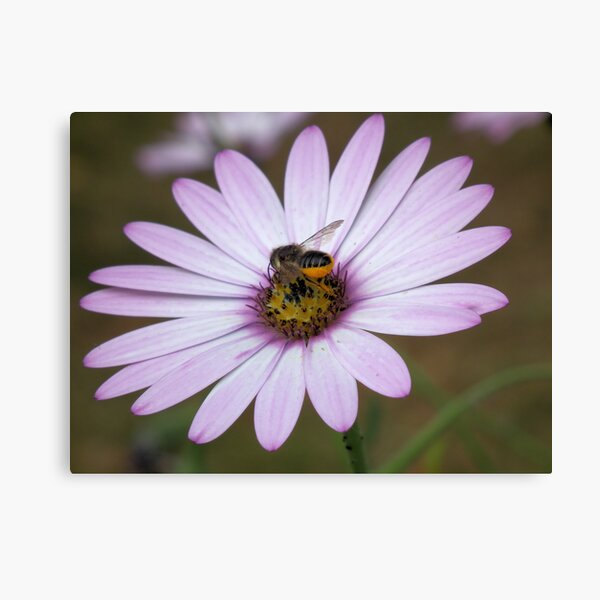 Bee collecting pollen from flower Canvas Print