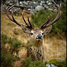 Red Deer playing peek-a-boo. by Jessica Smith